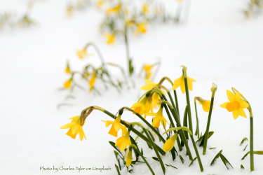 Daffodils emerging from snow